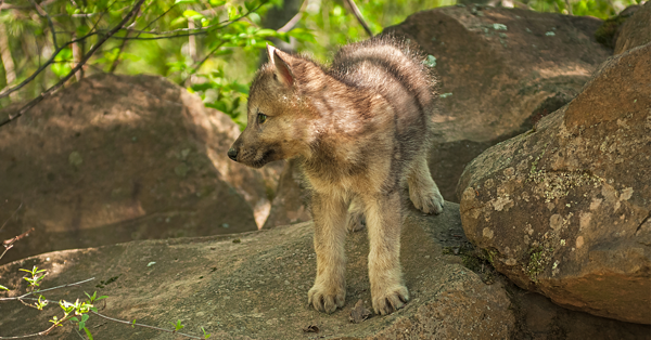 Wolf Puppies Eight