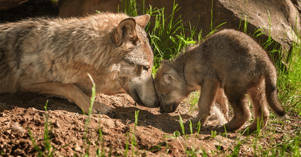 Wolf Puppies Eleven-1