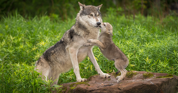 Wolf Puppies One