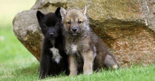 Wolf Puppies Sevenb