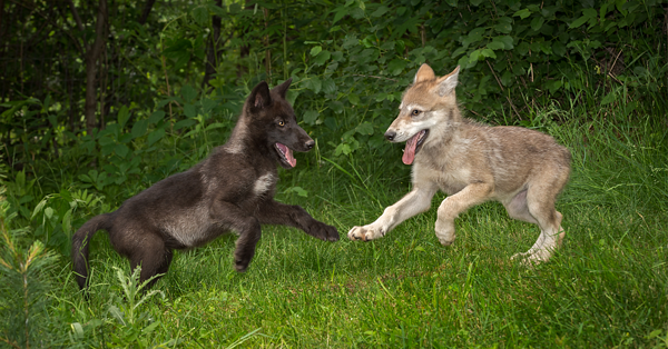 Wolf Puppies Six