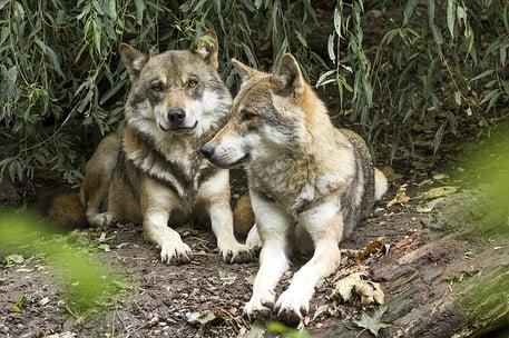 wolf-1384945_640