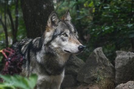 wolf-2782626_640