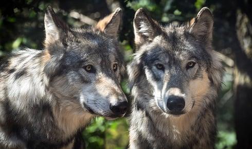 wolf-2984865_640