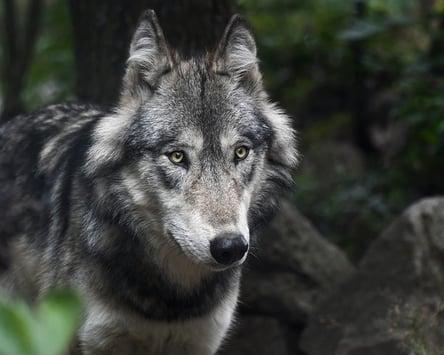 wolf-3241382_640