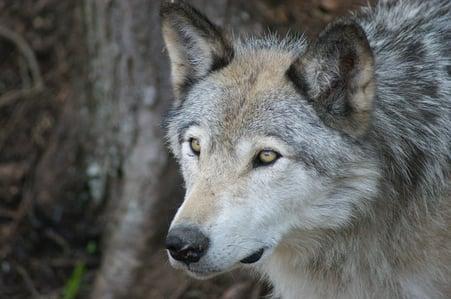 wolf-3493698_640