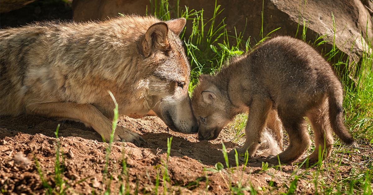 Wolf Puppies Eleven